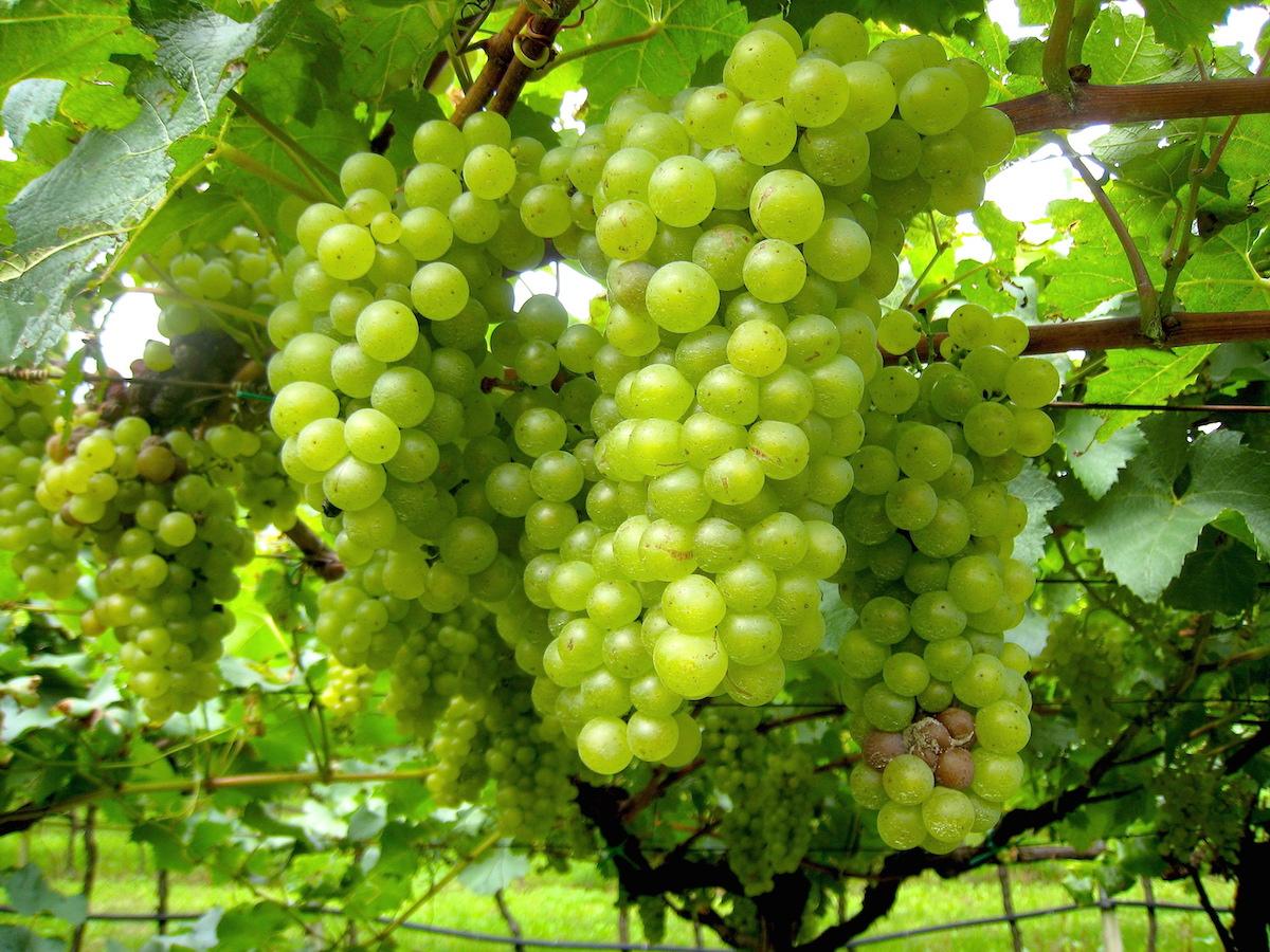 Die weißen Nosiola-Trauben werden nur in der Region angebaut - und schmecken genauso gut wie sie aussehen