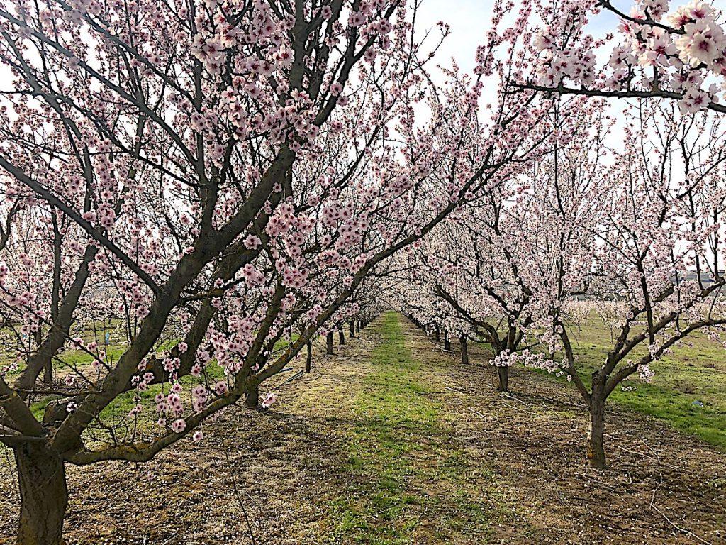 Allee aus 80 Mandelbäumen - zu bewundern während der Pfälzer Mandelblüte